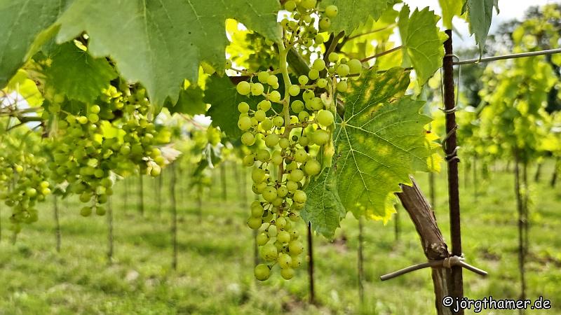 Weintrauben am Alpe-Adria-Radweg