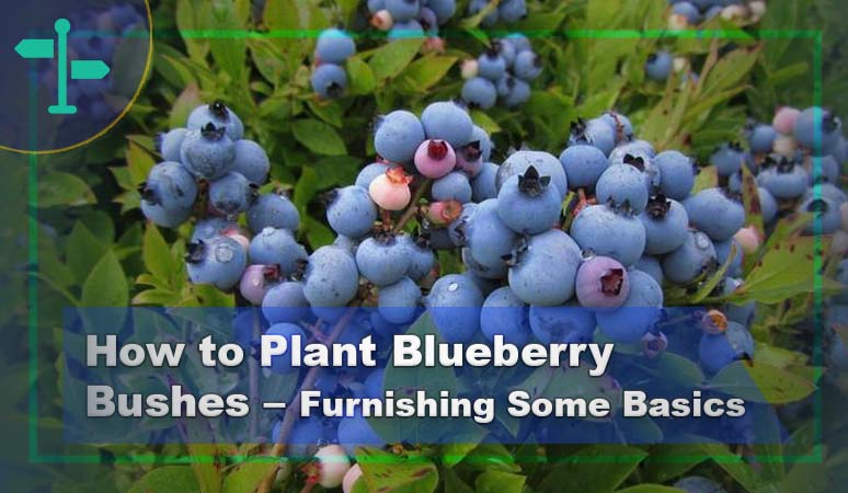 How to Plant Blueberry Bushes