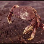 Crabs Galore: From Fisherman to Pulsars