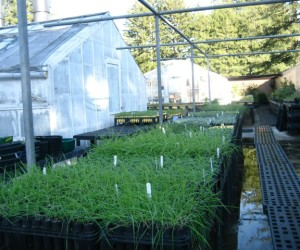 Rows of native plants at the Thimann Lab greenhouse, grown for coastal prairire restoration (photo: E. Loury)
