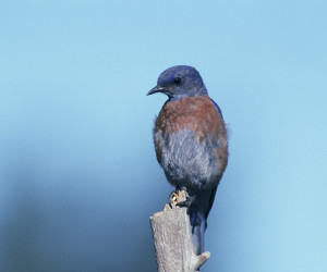 Western bluebird perched on bare branch. Photo Credit: Wikimedia Commons