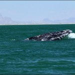 Gray whales again, for the first time