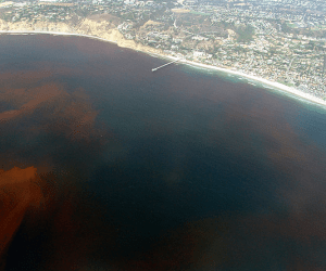 Red-tide further down the coast from us, in La Jolla, CA. Credit: eutrophication&hypoxia, Flickr.