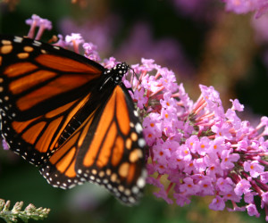 "<a href=""http://www.sxc.hu/photo/724829"">Monarch Butterfly 