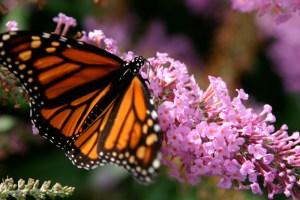 Monarch Butterfly | SXC