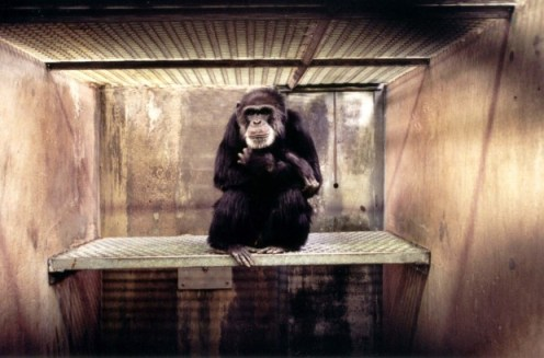 Carlos in his cage at the Coulston Foundation (Photo courtesy of Save the Chimps)