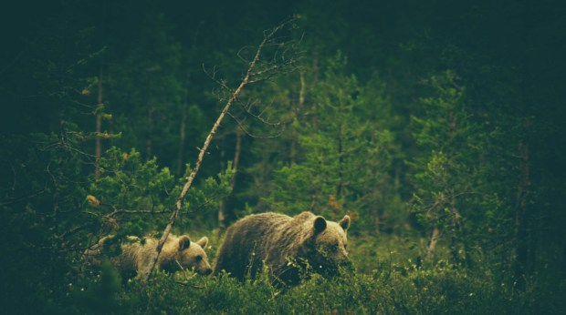 Foraging brown bears