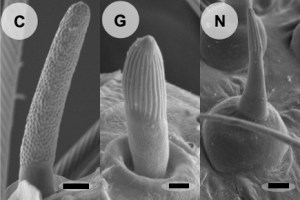 Bristletail sensilla (left) lack the grooves that often house olfactory neurons, which contrasts with those in firebrats (middle) and leaf insects (right).  Missbach et al. eLife (2014).