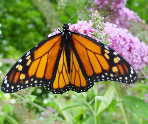 A monarch butterfly at rest (Image by Captain-tucker via Wikimedia Commons, licensed under CC BY-SA 3.0)