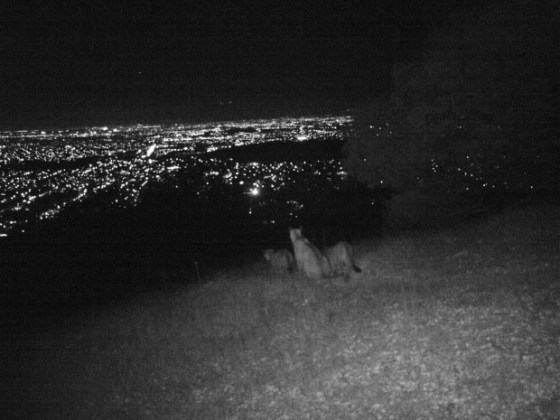 A puma family treks through Almaden Quicksilver County Park overlooking San Jose, CA. The photo was taken by a motion-activated camera, courtesy Justine Smith.