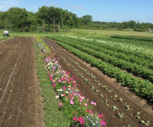An annual insectary strip established within a field to attract beneficial insects (includes dill, cilantro, cosmos, bachelor buttons, marigold, holy basil, nasturtium) on Joan Olson's farm in Minnesota. Credit: Joan Olson. Used with permission