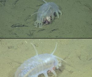 Baby king crab hangs  onto its nanny sea pig. Credit: ©2011 MBARI