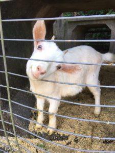 【薩摩川内市】ヤギがいる柳山アグリランドのコスモス祭りへ
