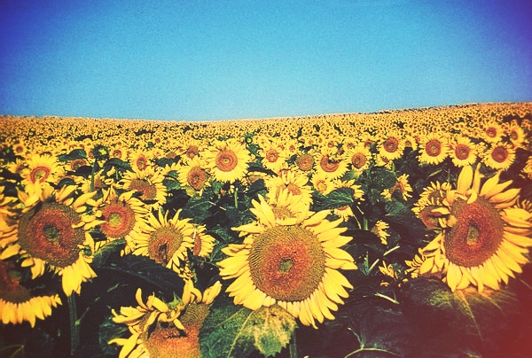 Sunflowers-hi-res_full_600.jpg_effected-001