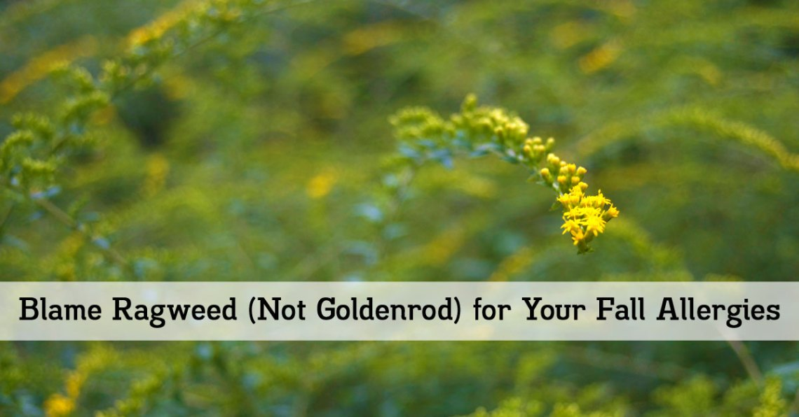 Blame Ragweed (Not Goldenrod) for Your Fall Allergies - Outlaw Garden
