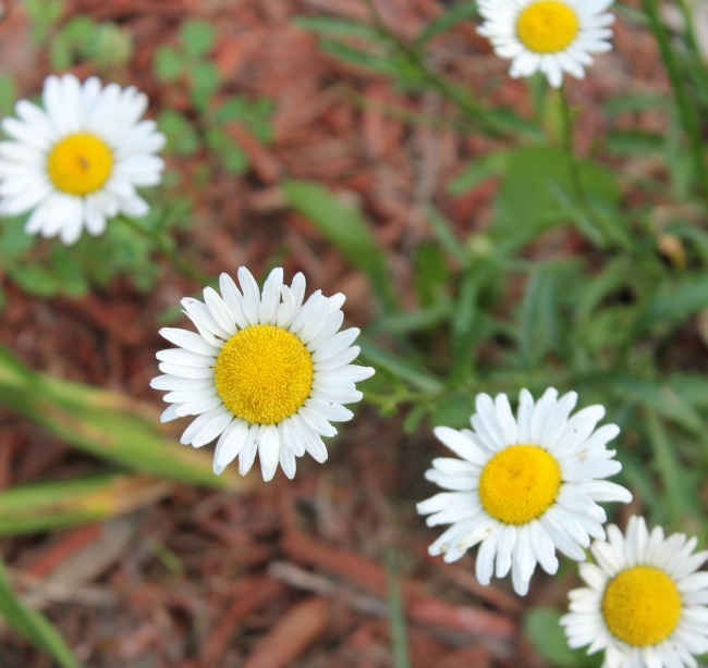 Daisies and More – Flower Friday