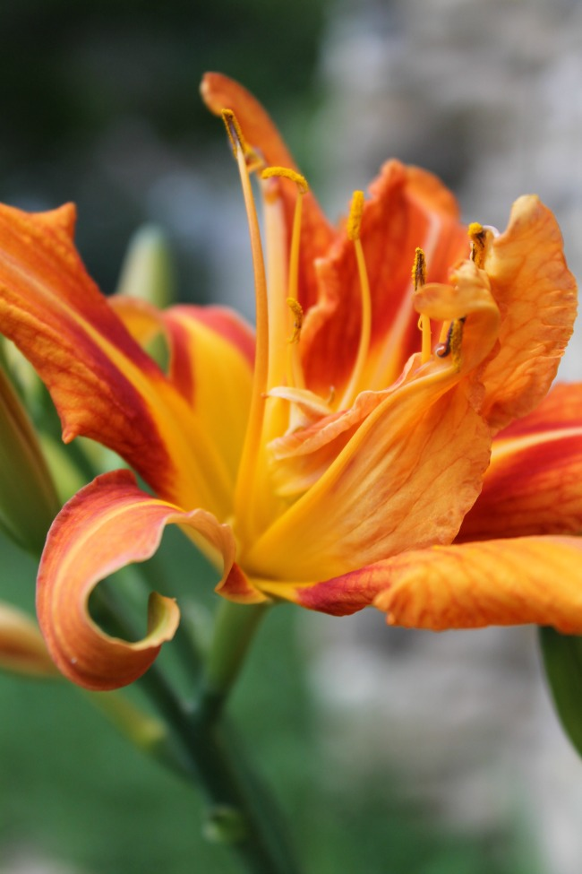 Lilies – Flower Friday