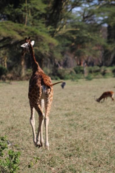 "This giraffe is like ""Bye boo G2G"""
