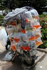 Goldfish for sale
