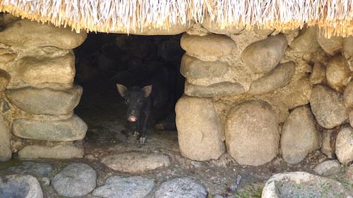 Native Pig