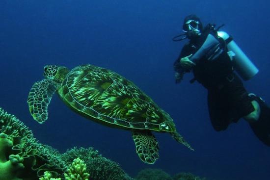 turtles in apo island
