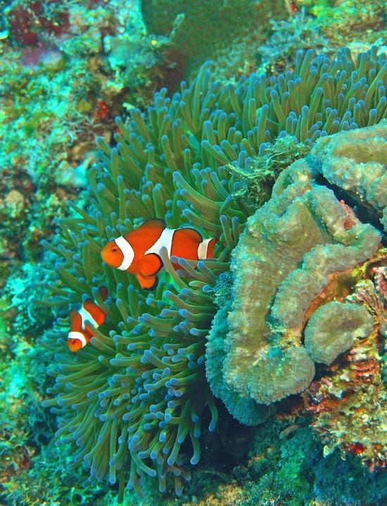 Nemo Clown Anemonefish Ocellaris by Pavel and Liba Gross