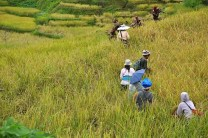 Rice Harvest in Hungduan