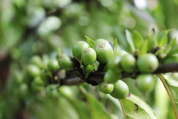 Nescafe Davao Day2- Green Coffee Beans