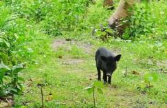 Wild Boar in Tikling Island