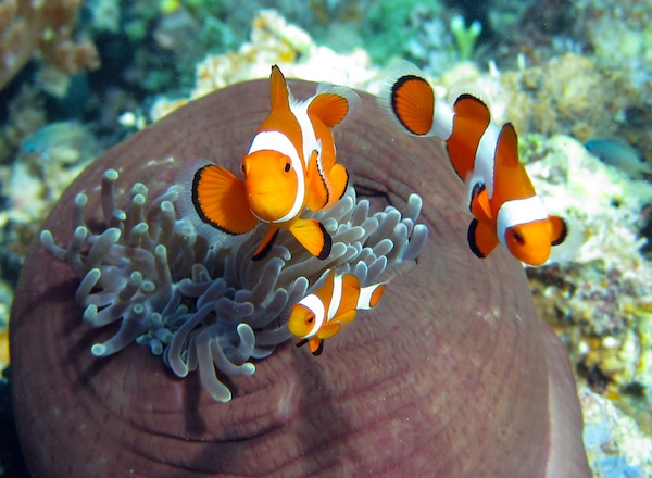 False Clown Anemone Fish (Amphiprion ocellaris)