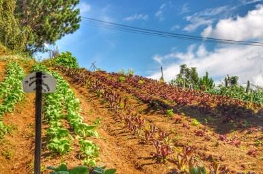 Organic Vegetable farming in Kapatagan Valley