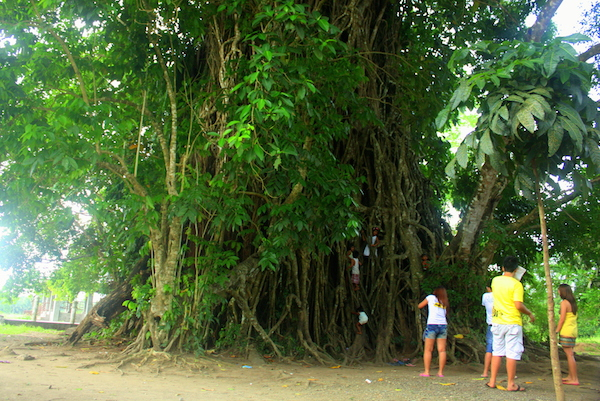 600 Years Old Balete Tree