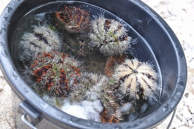 Colorful Sea Urchins for sale
