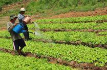 Organic Letuce Farming