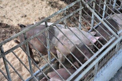 Organic Livestock Farming