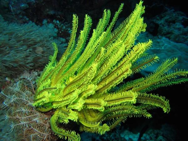A yellow crinoid in Apo Reef