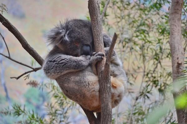 Koala inside Adventures in Australia