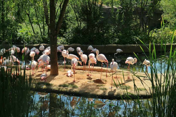 Dozens of Flamingos inside the Amazing Safari of Everland Park