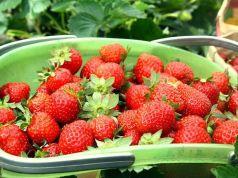 Strawberry-picking La Trinidad