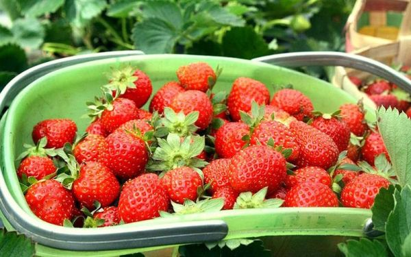 Strawberry-picking La Trinidad