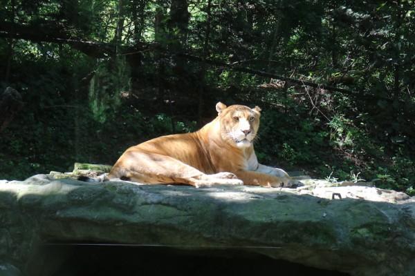 Tiger at Everland
