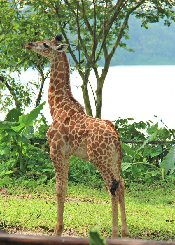 Say hello to the newest Giraffe calf in Singapore Zoo