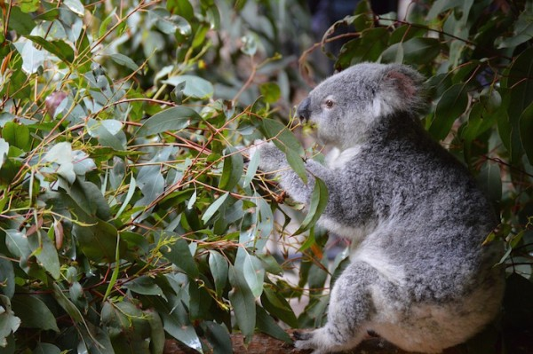 Koala - Wildlife in Australia