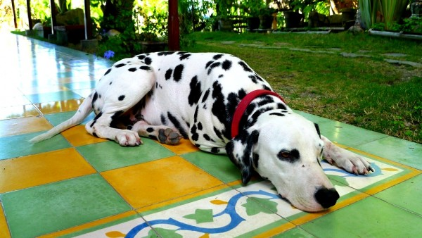 This dalmatian is very endearing