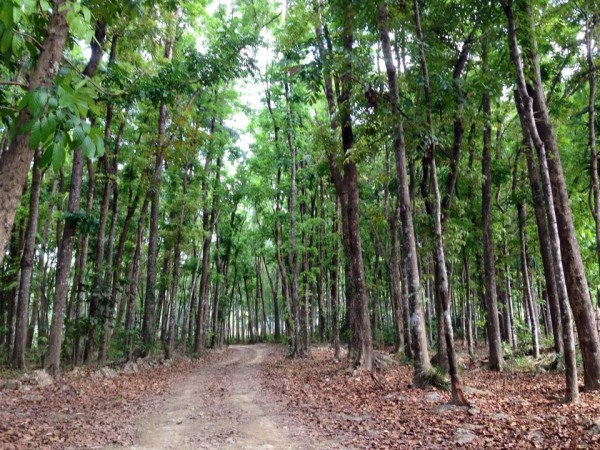 Towering Mahogany trees flourishing around Finca Verde