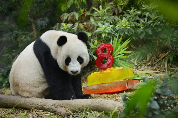 Kai Kai and Jia Jia enjoying their honey-flavoured ice cakes. In a recent update to their Red List of Threatened Species, giant pandas were downgraded to 'Vulnerable' from 'Endangered' by the International Union for Conservation of Nature. Photo credits: Wildlife Reserves Singapore