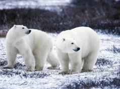 Make pals with Polar Bears