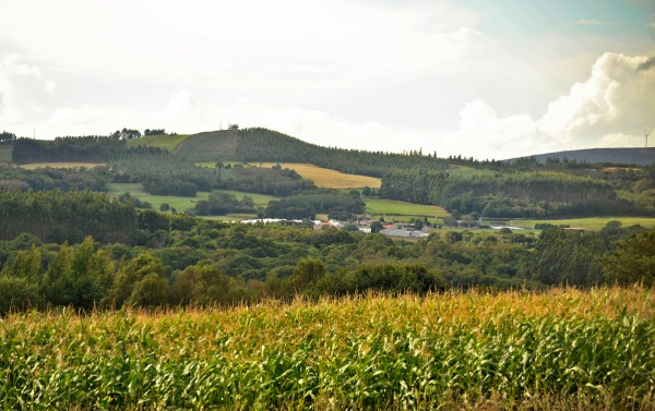 Corn plantation in the rolling hill countryside.