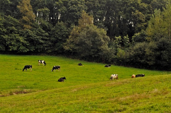 Cows graze contentedly on the verdant slopes.