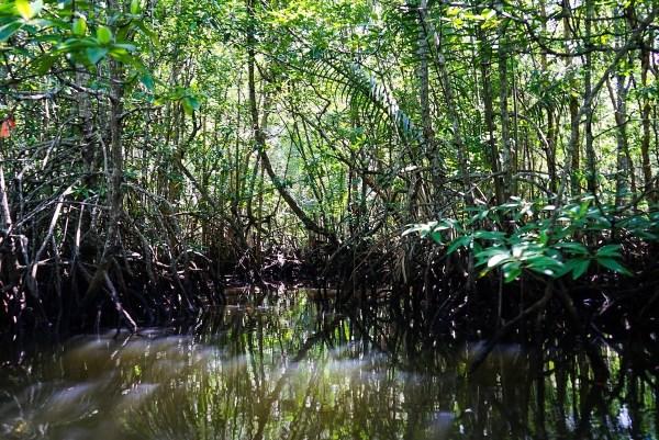 Well preserved mangroves in Bintan